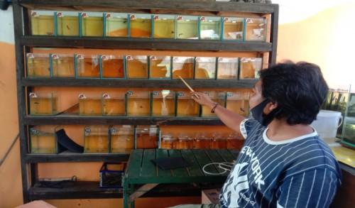 Penjualan Ikan Cupang Hias di Banyuwangi Meningkat Saat Pandemi