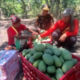 Petani Mangga Kabupaten Pasuruan Panennya Merosot 40%