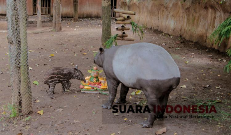 Bayi Malayan Tapir Lahir di Batu Secret Zoo, Lucu dan Menggemaskan