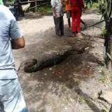 Usai Menelan Anjing, Piton Sepanjang 4 Meter Ditangkap Warga Banyuwangi