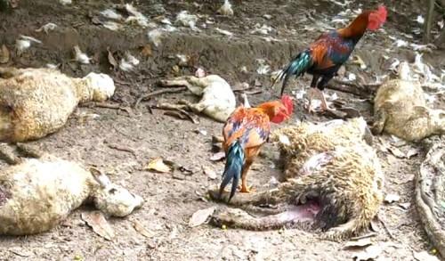 Kawanan Anjing Liar Teror Ternak, 13 Kambing Warga Tuban Mati Dimangsa