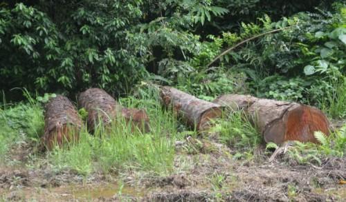 Mafia Illegal Logging di Aceh Timur Masih Berkeliaran, Polisi Belum Berhasil Tangkap Terduga Pelaku