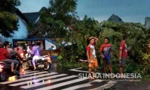 Pohon Angsana Besar Tumbang, Akses Jalan Raya Mojosari-Pacet Sempat Tertutup