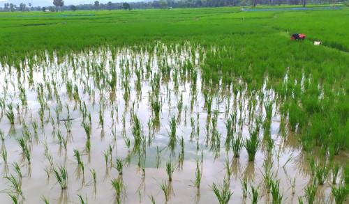 Dampak Banjir Ancam Gagal Panen, Petani Tuban Bisa Ajukan Asuransi