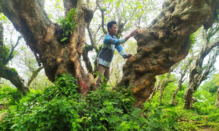 Gara-gara Bersihkan Ranting Pohon Kamboja di TPU, Warga Mandiro Bondowoso Dilaporkan ke Polisi