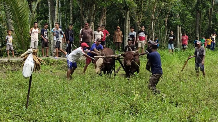 Karapan Sapi di Desa Talempong Situbondo, Tradisi Turun Menurun