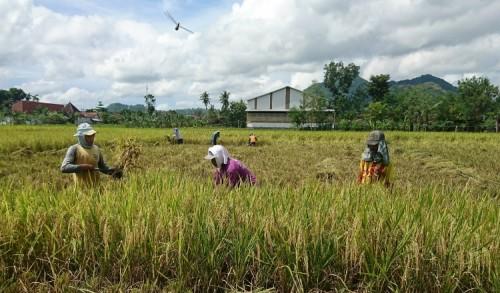 Petani Trenggalek Resah, Harga Gabah Murah