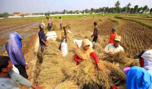 Dinas Pertanian Sebut Harga Gabah di Banyuwangi Masih Aman