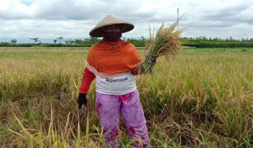Petani Banyuwangi Keluhkan Mahalnya Harga Pupuk Subsidi