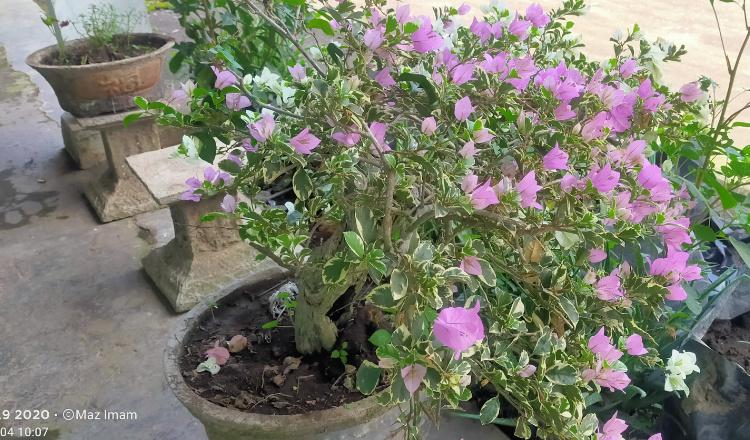 Dibalik Keindahan Bunga Bugevil Banyak Manfaat