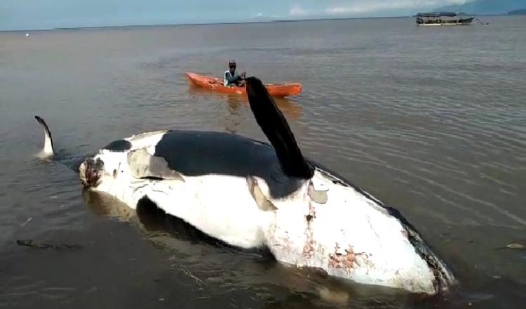 Seekor Ikan Paus Mati Terdampar di Perairan Banyuwangi