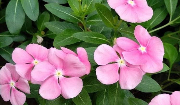 Bunga Tapak Dara, Banyak Diminati Ibu Muda