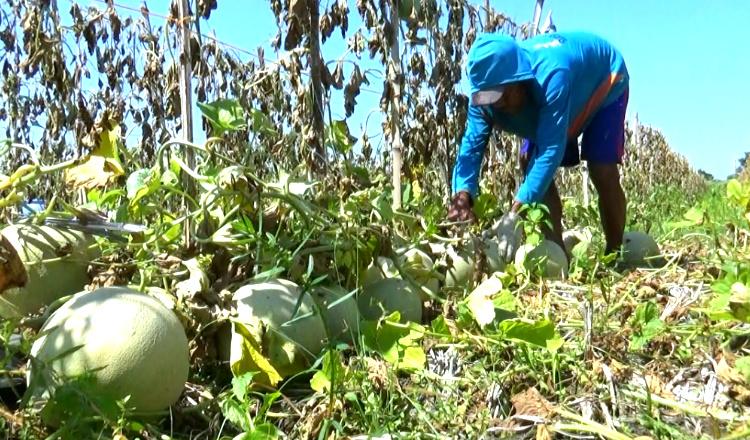Ditengah Bulan Ramadhan, Petani Melon di Tuban Untung Besar