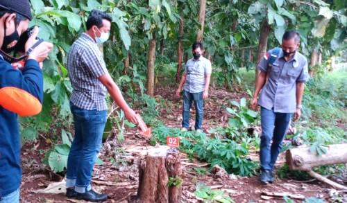 Curi Kayu di Perhutani Tuban, Kakek di Grabagan Dibekuk Polisi