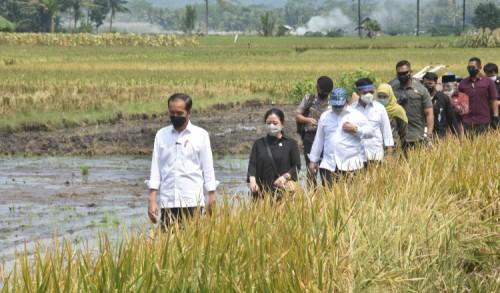 Presiden Jokowi Panen Padi di Malang, Pastikan Tak Impor Beras