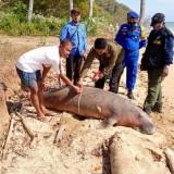 Dugong Ditemukan Mati Terdampar di Pulau Bawean, Tubuhnya Penuh Luka
