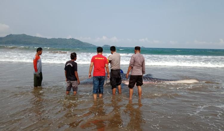 Terdampar di Pantai Gemawing Trenggalek, Hiu Tutul Tujuh Meter Berhasil Diselamatkan