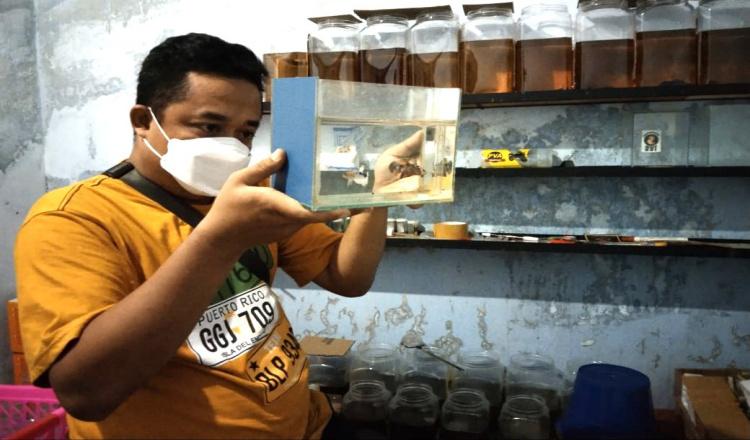 Menengok Usaha Menggiurkan Peternak Ikan Cupang di Ponorogo