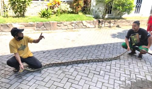 Bikin Geger Warga Gresik, Ular Piton Sepanjang 5 Meter Muncul di Depan TK