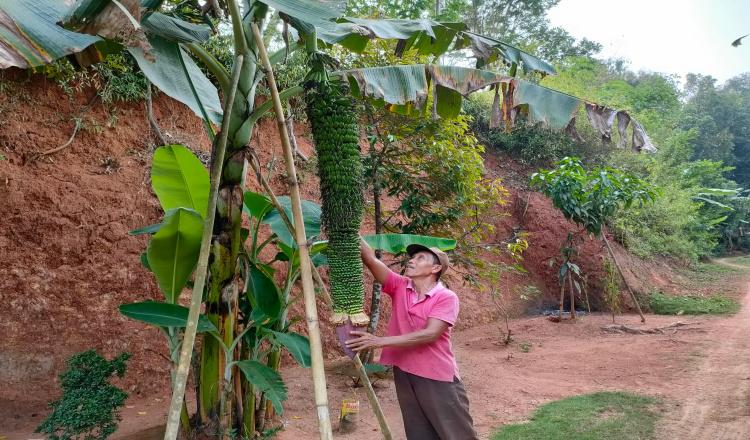 Pisang Rojo Sewu Milik Petani di Purworejo Miliki Panjang Hampir 2 Meter