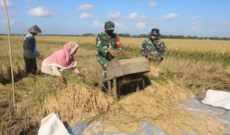 Menarik, Panen Raya Padi di Purworejo Dilakukan oleh TNI dan Warga