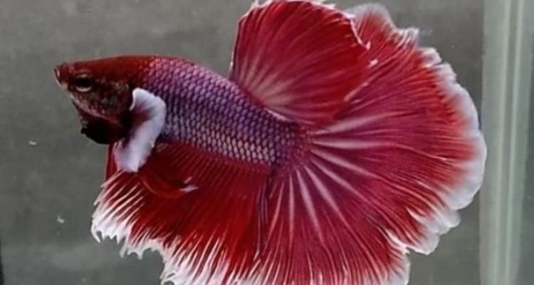 Catatan Penting Bagi Pencinta Ikan Cupang