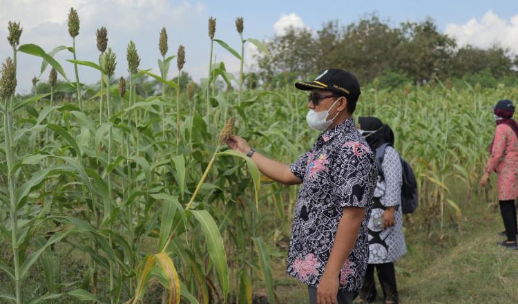 Jadi Bahan Dasar Produksi Mie, Pertanian Sorgum di Lamongan Menjanjikan