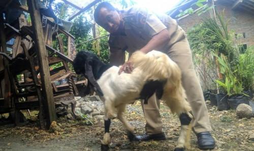 Unik, Kades di Purworejo Punya Klangenan Kambing Ras Etawa Berkaki Tiga