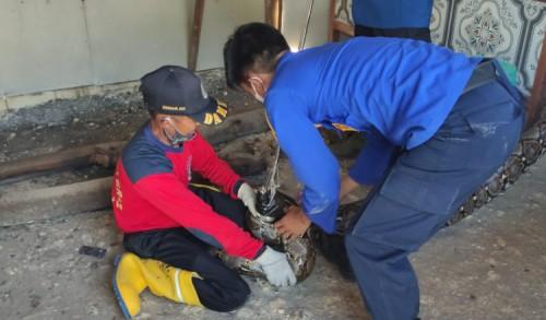 Warga Lamongan Kaget, Ada Ular Sanca Besar Sembunyi di Atap Warung