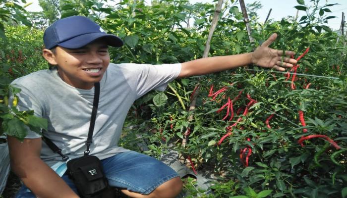 Harga Lombok 4 Ribu, Petani di Blitar Gulung
