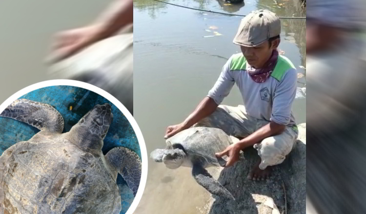 Terperangkap Pancing, Penyu Hijau Kembali Dilepasliarkan Nelayan