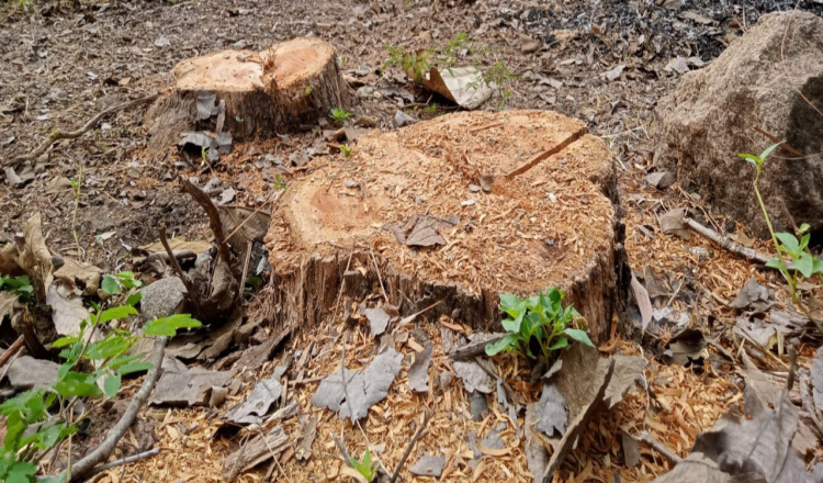 Puluhan Pohon Jati di Ngawi Hilang Diduga Dicuri