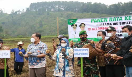 Ikuti Panen Raya Kentang di Gandusari, Bupati Blitar Ingin ASN Turut Membeli dan Promosikan Produk Pertanian