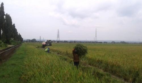 Luas Lahan Sawah di Kabupaten Tuban Bertambah 19.171 Hektar