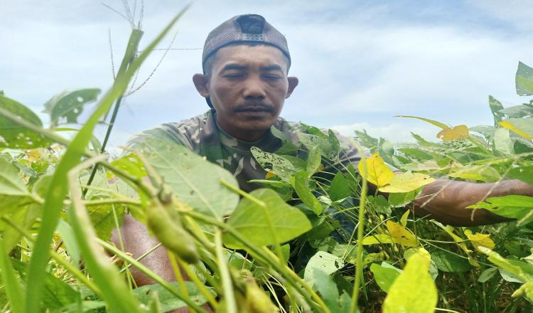 Hama Ulat dan Belalang Serang Belasan Hektar Tanaman Kedelai Siap Panen di Magetan