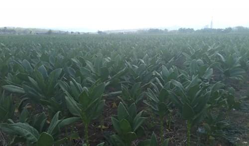 Anggaran Fantastis Dinas Pertanian Tuban, Rp 1 Miliar untuk Pengadaan Benih Tembakau