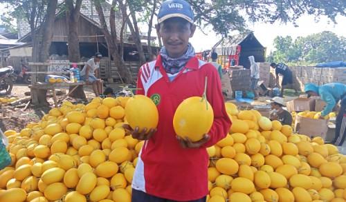 Petani Jenu Tuban Sukses Budidaya Melon Golden, Sekali Panen Omzet Mencapai 250 Juta