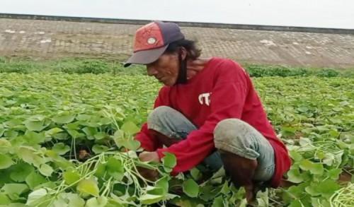 Petani Sayur Madiun Raup Ratusan Ribu Dari Berkah Waduk Kering